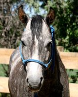 BHR Grey Lookout 2012 grey stallion